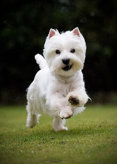 The best best Westie dog pictures - The best best Westie dog pictures - Beautiful Dogs, Animals Beautiful, Cute Animals, Westies, Westie Dog, Little Dogs, Cute Puppies, Dogs And Puppies, Doggies
