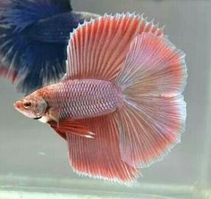This double tail betta has a unique colour and even uniquer silk texture. Betta Fish Types, Betta Fish Care, Freshwater Aquarium Fish, Aquarium Fish Tank, Colorful Fish, Tropical Fish, Betta Breeding, Salt Water Fish, Beta Fish