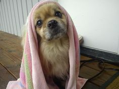 tibetan spaniel pictures - Google Search