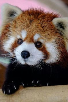 Red panda animal cuteness