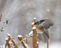 Tufted Titmouse, just before he took off~