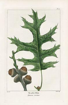 Botanical Print Oak Leaf and Acorn