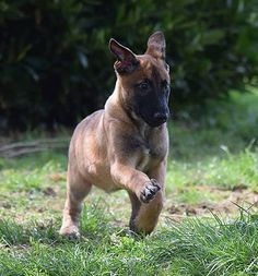 Breeding and training center specialize in the Belgium Malinois breed. Green dogs, Narcotic and explosive detection, sport dogs Belgian Shepherd, Shepherd Dog, Big Dogs, Dogs And Puppies, Cane Corso Kennel, Belgian Malinois Puppies, Belgium Malinois, Sweet Dogs, Rottweilers