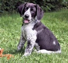 Virginia Wolf is an adoptable Bluetick Coonhound Dog in Patterson, NY.