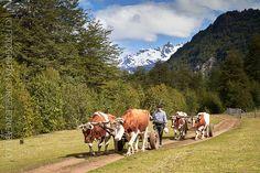 Bueyes de tiro - Primer Corral (Patagonia - Chile) | por Noelegroj