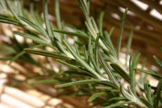 What is rosemary? What are the useful properties found in rosemary? What are the benefits of rosemary for holistic health.