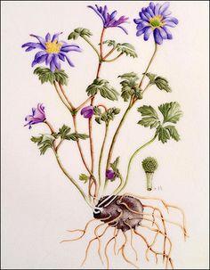 Botanical Drawings | Kew Gardens Botanical Art Gallery - World Art