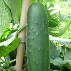 Como cultivar pepinos - 8 passos - umComo