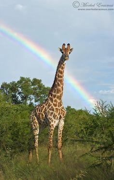 Noahs giraffe by Morkel Erasmus.