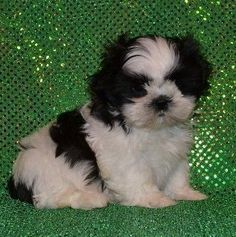 Bingo Is A Male Shih Tzu Puppy For Sale At Puppyspot Call Us