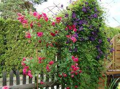 """Rose """"Elmshorn"""" + C. """"Etoile Violette"""" oder """"Jackmanii"""""""