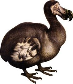 The extinct dodo bird was a large flightless creature that lived ...