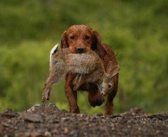 Cocker spaniel retrieve