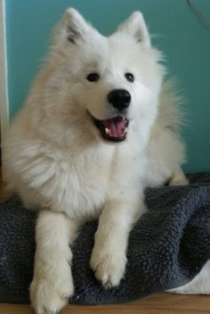 What a great smile ♡ #samoyed
