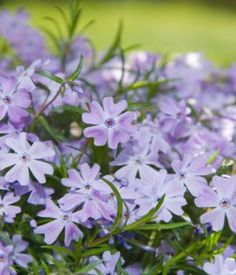 Phlox  Creeping Phlox  Scientific Name Phlox stolonifera  Plant Type Annual and Perennial  Blooming Spring to Summer
