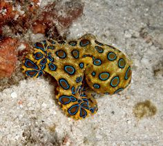 50 Best Small #Fish and #Marine #Animals in the #Ocean - Blue-ringed #Octopus (Hapalochlaena lunulata)