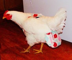 Behold, the chicken diaper.