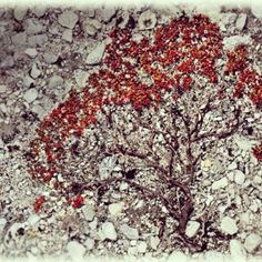 Trailing azalea growing on a scree slope in Rondane National Park Norway #TrailingAzalea #RondaneNationalPark #Norway #HeathrowGatwickCars.com   heathrowgatwickcars.com via Instagram http://ift.tt/2kyfKd0
