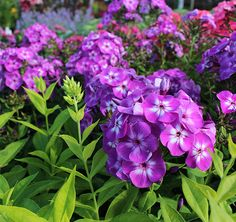 How brilliant is this Phlox!? Eye-popping flowers and foliage and a delightful scent! (Phlox p. 'Laura')