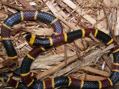 How to Identify a Venomous Snake