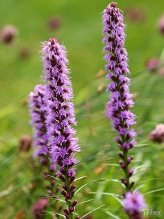 Originally found growing wild in the American prairie, Liatris, or blazing star, is now a top pick for hot, sunny gardens. The plants are naturally resistant to heat and drought and are available in pink, purple or white flowering varieties. Liatris forms a clump of narrow leaves that are topped in mid to late summer by 2-foot-tall spikes of bloom. This striking perennial is also a favorite with butterflies, bees, and other pollinators. Grows in Zones 3-9.