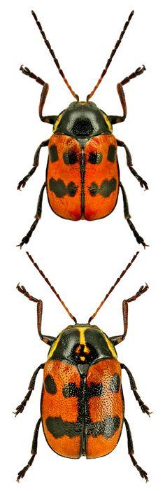 Cryptocephalus octopunctatus