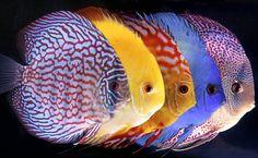 Resultado de imagen para peces acuarios agua dulce