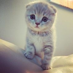 Scottish folds are so cute!!!
