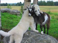 I love it when animals love each other.  A goat and a Great Pyrenees.  What a photo!