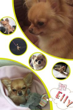 Chihuahua, Teddy Bear, Ice, Toys, Animals, Activity Toys, Animales, Animaux, Clearance Toys