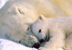 Momma polar bear and her cub :)