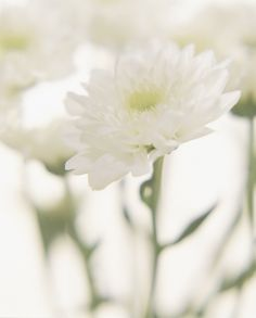 Chrysanthemum #flower