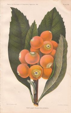 Antique 1892 Giant Loquat Fruit Chromolithograph Print Plate XII