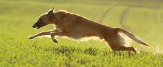 silken-windsprite-windhund-sprinter-auslauf-jagdtrieb www.goldenmerlo.de