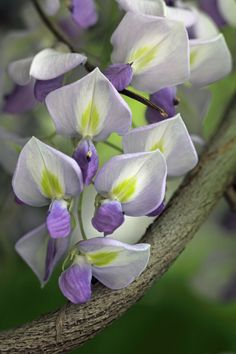 in the pea family Exotic Flowers, Amazing Flowers, Purple Flowers, Beautiful Flowers, Wisteria Sinensis, Language Of Flowers, Types Of Flowers, Garden Plants, Wisteria Garden