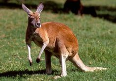 The more I look at a kangaroo, the more I think they are the most bizarre creature.  Are they part deer, rabbit, rat..??