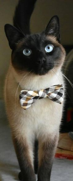 Siamese Cats Click the Photo For More Adorable and Cute Cat Videos and Photos Pretty Cats, Beautiful Cats, Animals Beautiful, Pretty Kitty, I Love Cats, Crazy Cats, Cool Cats, Cute Kittens, Cats And Kittens