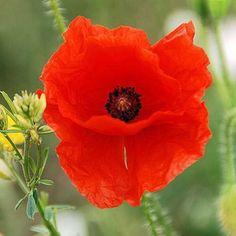 Easy Gardening: Best-Value Flowers | Corn Poppy Flowers | AllYou.com