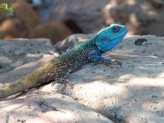 Lizard we called them Bloukop koggelmanders, remember them in the trees on the farm when we were children in Barberton Lizards, Reptiles, African Drum, Out Of Africa, In The Tree, Wild Life, South Africa, Dragons, Cape