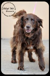 Brownie is an adoptable Retriever Dog in Minneapolis, MN. ​ Housebroken Good with dogs and cats Well-mannered 'Lady-like' Brownie is a beautiful chocolate brown with blonde highlights. ... ...