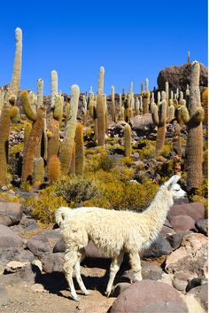 Fish Island is located in the middle of Bolivia's amazing Uyuni Salt Flats, and comes complete with alpacas!