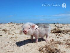 Mini teacup Micro Nano dwarf pet pigs mamma piggies - petite porkers