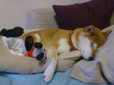 Sleeping Chiru
