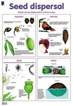 seed dispersal simple diagram of different types teaching science pinterest seed. Black Bedroom Furniture Sets. Home Design Ideas