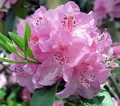 state wildflower of georgia - Google Search
