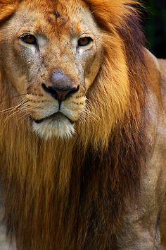 Lion - Raja singa by Zulbaning Beautiful Cats, Animals Beautiful, Cute Animals, Wild Animals, Baby Animals, Ocelot, Mundo Animal, My Animal, Lion Tigre