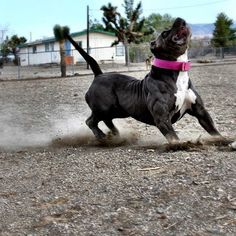 Supplements for dogs from Bully Max. The best pitbull dog supplements for building muscle in pitbulls. Big Pitbull, Bully Pitbull, Terrier Dog Breeds, Bull Terrier Dog, American Pitbull, American Bullies, Puppy Kennel, Cool Pets, Working Dogs
