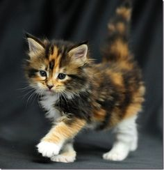 Fluffy Calico.....oh my, I want a kitten!