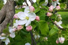 Plant apple trees in full sun for best fruit production.  Most fruit trees require pruning and fertilization.  Plant several varieties for cross pollination.  Apple trees will help attract hummingbirds to your home.