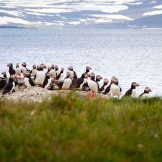 Puffins of Vigur island, Westfjords.
